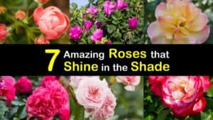 Roses for Shade titleimg1
