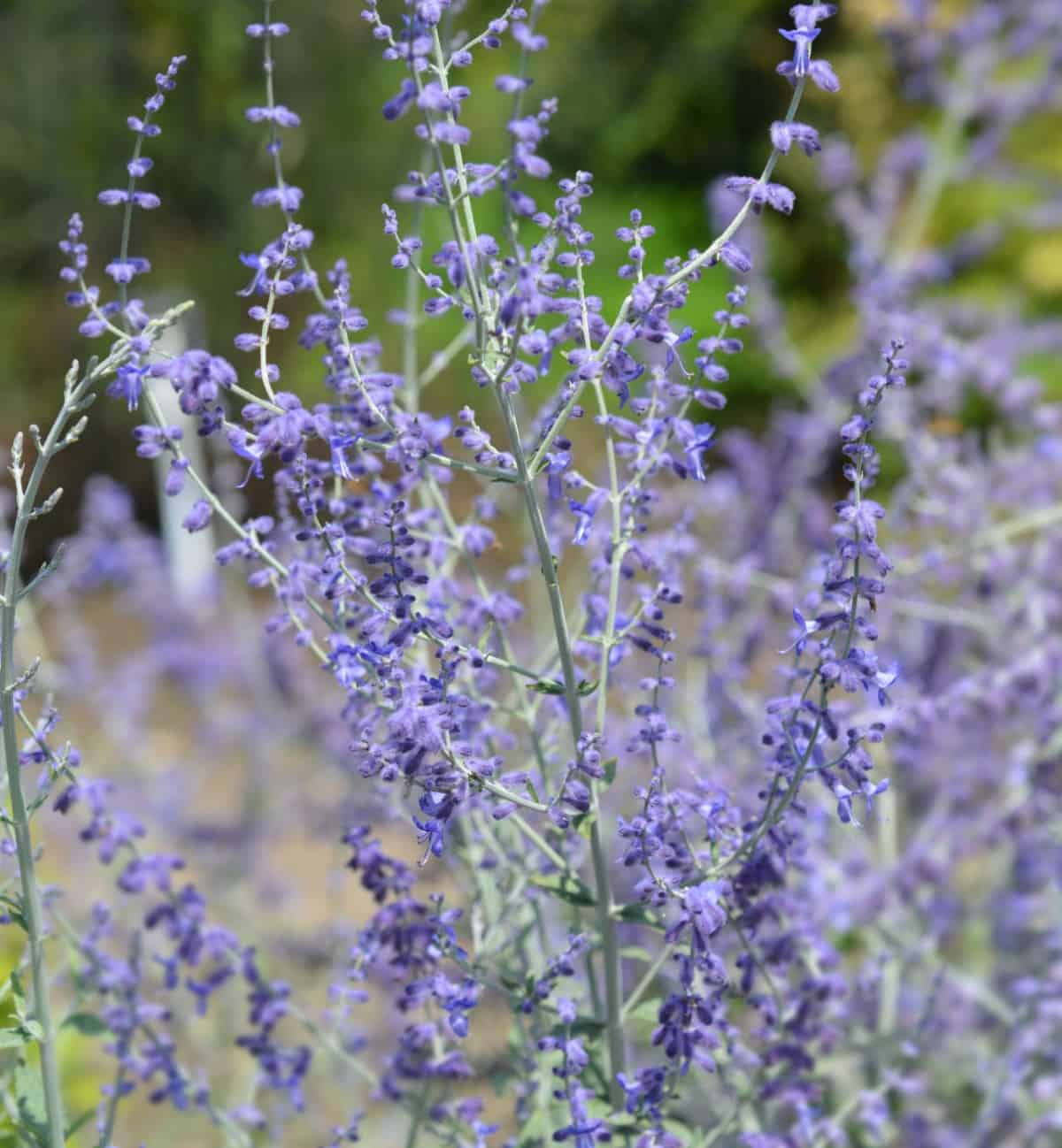 Russian sage is one of the best perennials for dry areas.