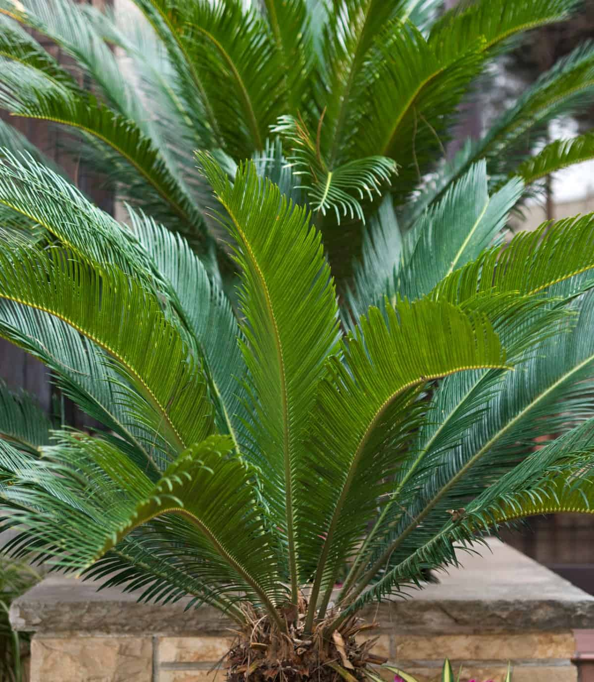 Sago palms are hardy, slow-groweres.