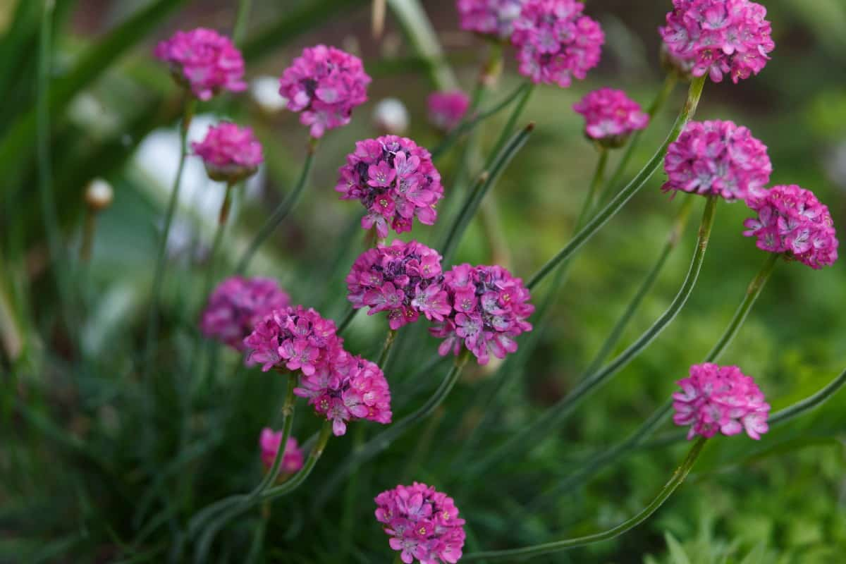 Plant sea thrift seeds in fall.