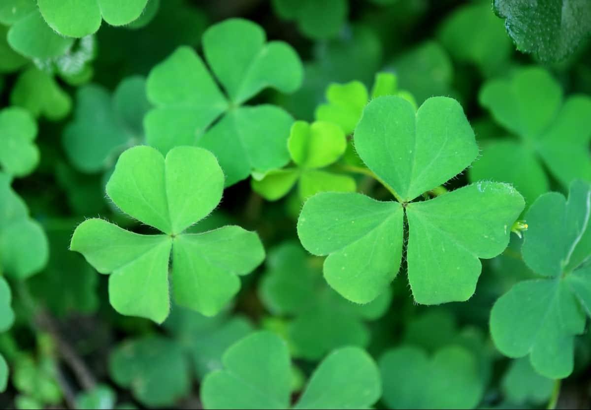 Shamrocks offer good luck to the grower.