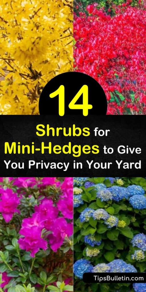 Discover how you can use low-maintenance flowering shrubs to provide color and interest year-round. Shrubs such as lilac, hydrangea, yew, euonymus, and arborvitae provide beauty and privacy when used as mini-hedges. #shrubs #shrubsforhedges #small