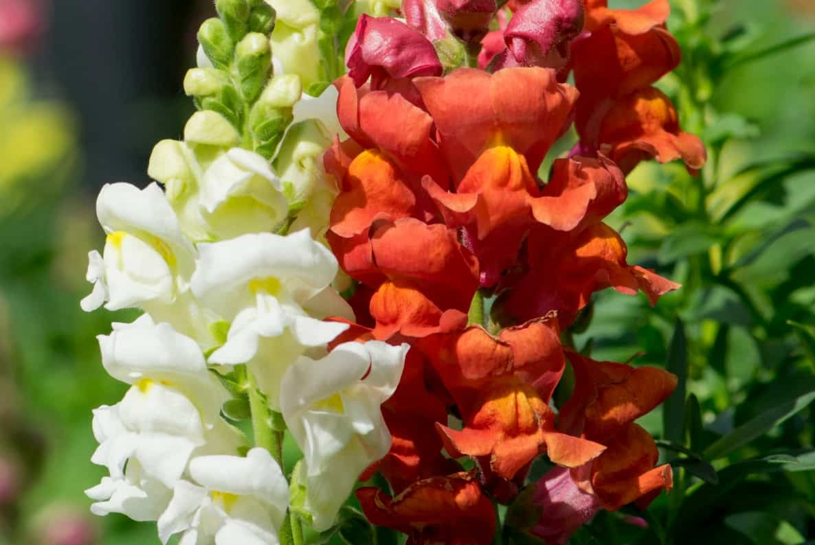 Snapdragons come in bright cheerful colors.