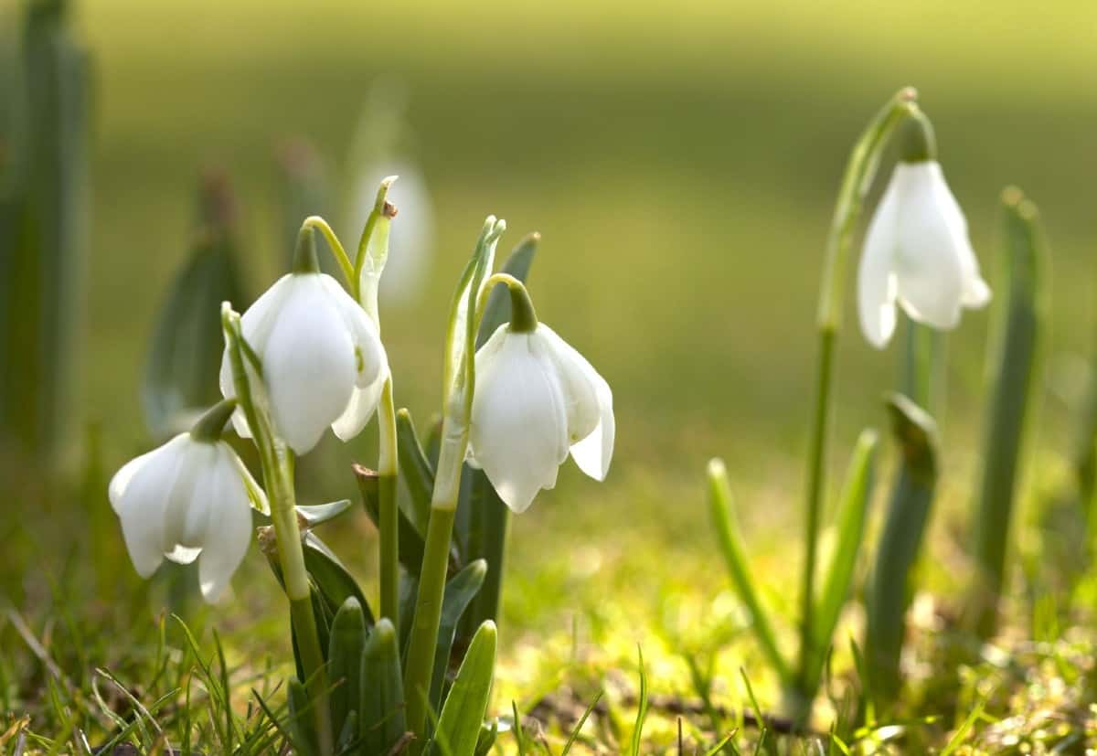 Snowdrops are pretty winter flowers but can irritate the skin when touched.