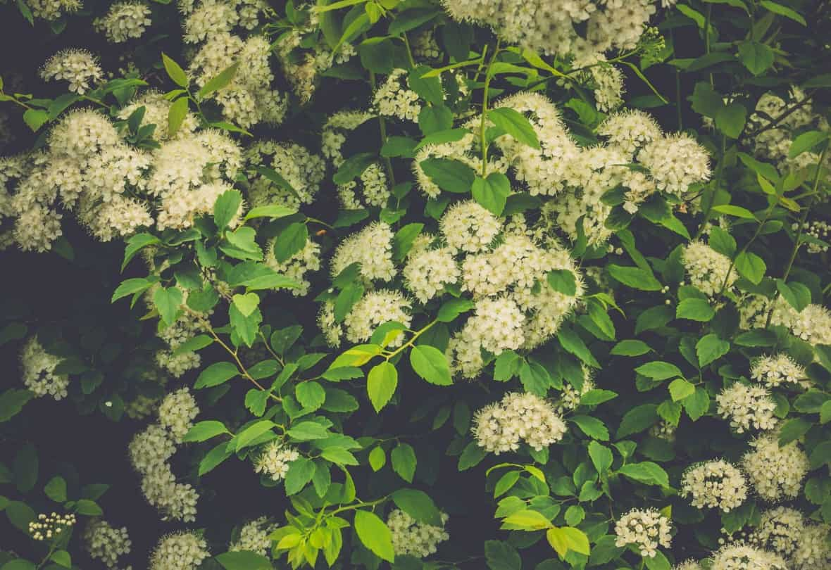 Spirea makes a pretty small hedge with spring blooms.