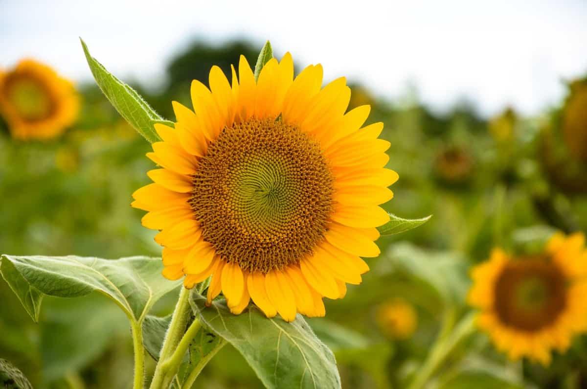 Sunflowers are quite drought-tolerant.