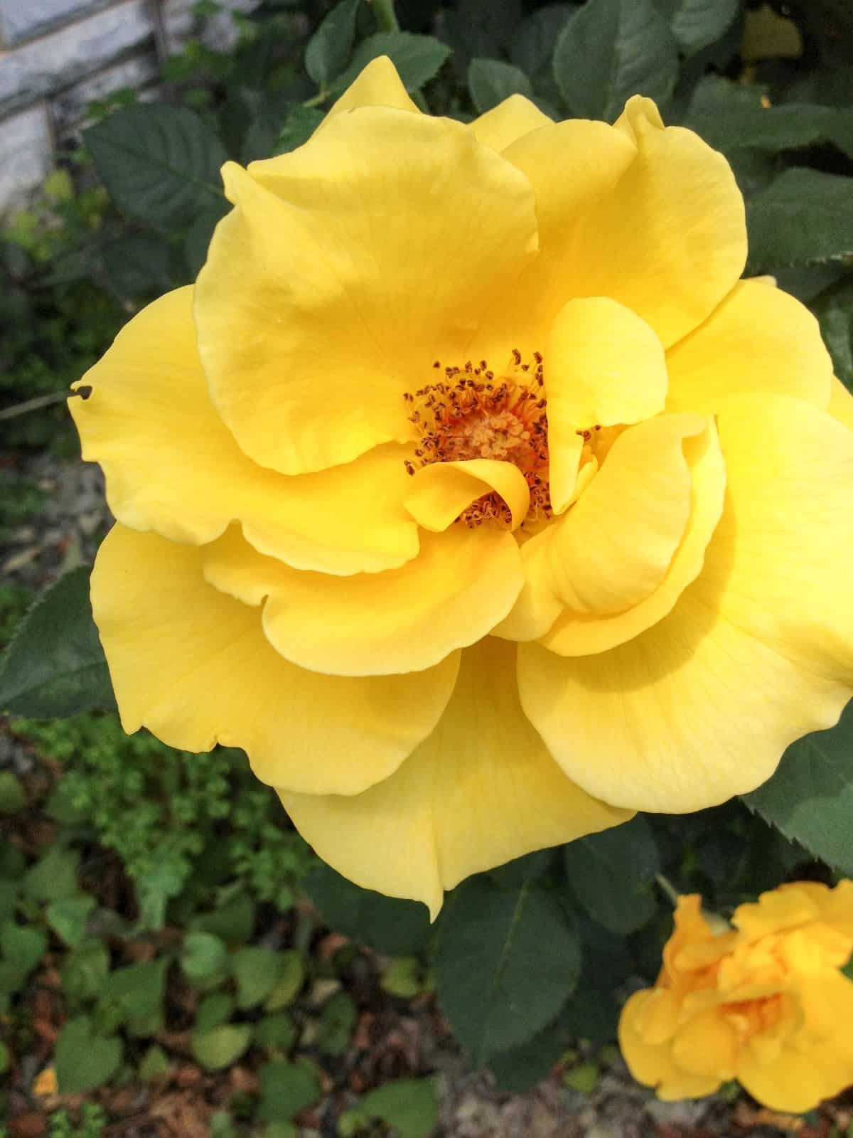 Not only is the sunny knock out rose disease resistant but it also has a pleasant fragrance.