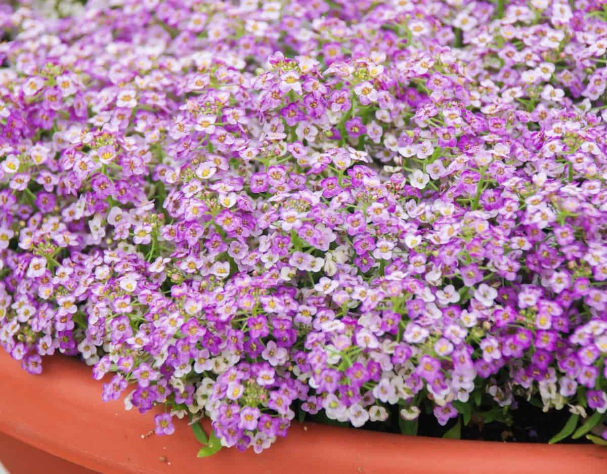 Sweet alyssum is right at home in a rock garden.