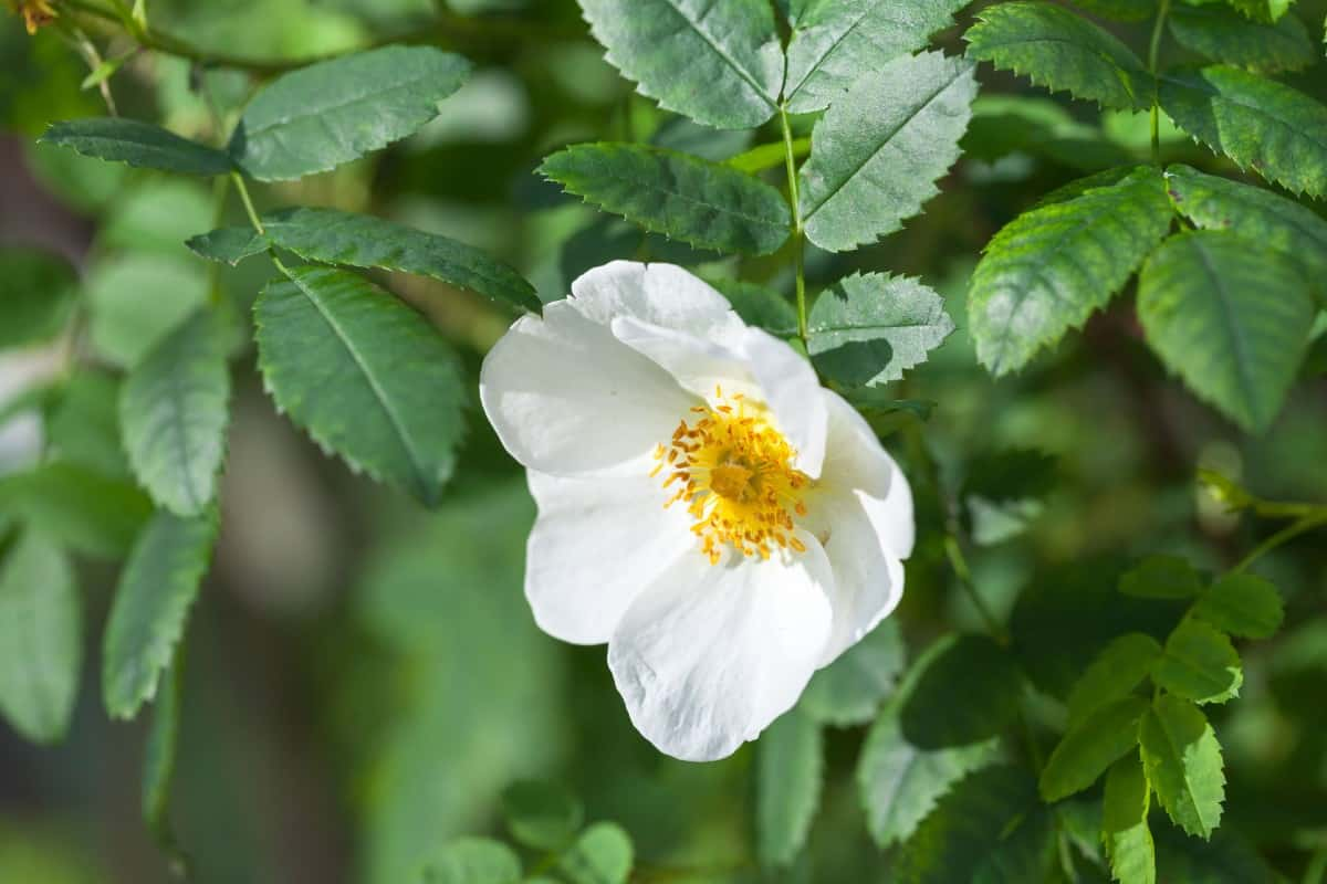 Sweet-briar roses smell like apples.