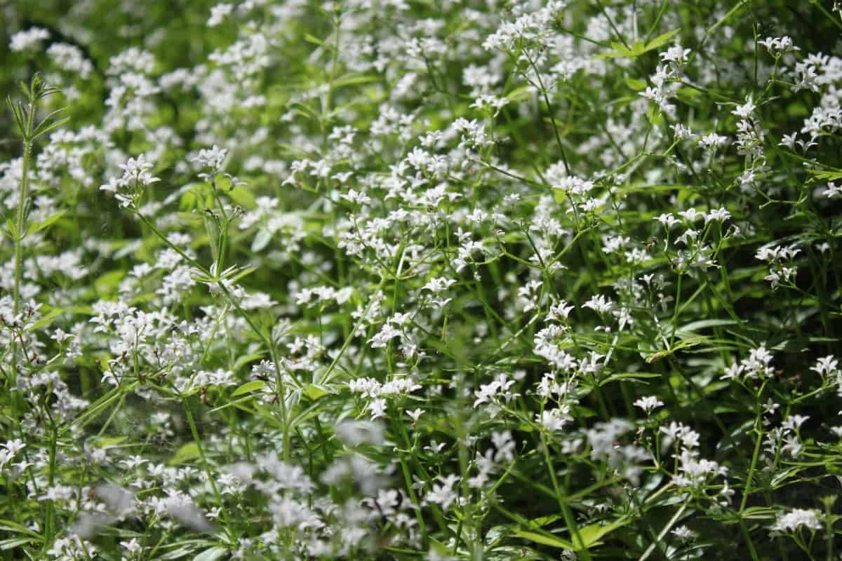 Sweet woodruff is a low maintenance ground cover.