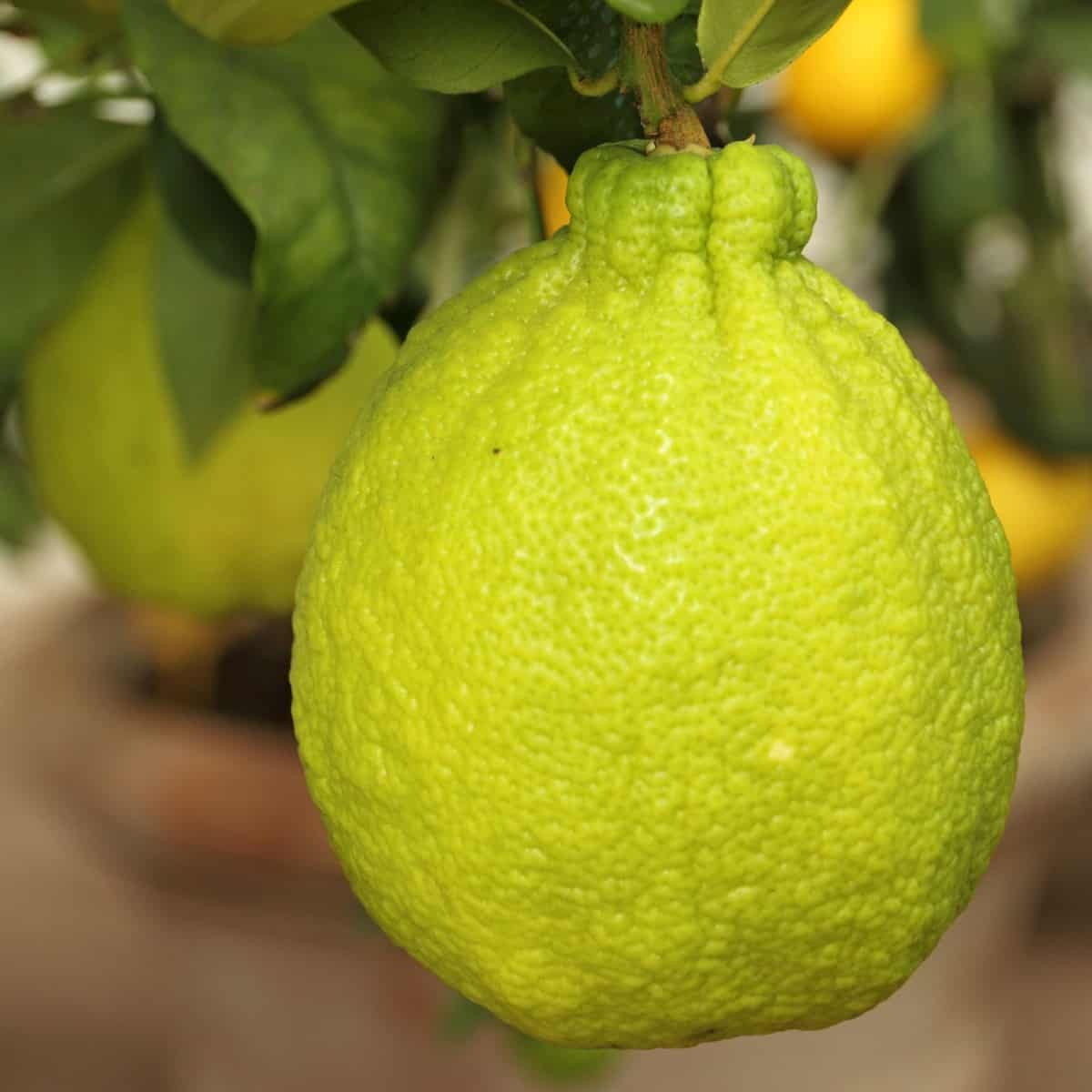 Tangelos are juicy members of the citrus family.