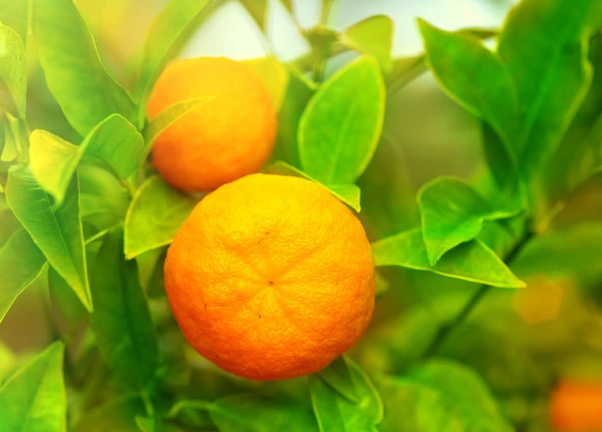 Tangerines can't handle a hard freeze.