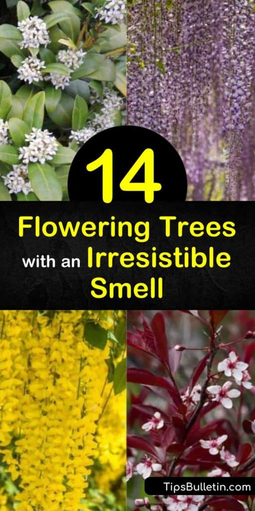 Fill the space around your home with fragrant flowers and green leaves from the early spring to late summer. Whether you want a small tree or evergreen shrub, this article has the most memorable smelling plants, like magnolia and gardenia, to incorporate around your home. #trees #fragrant #flowers