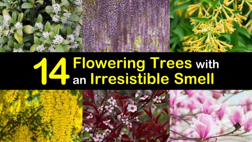 Trees with Fragrant Flowers titleimg1