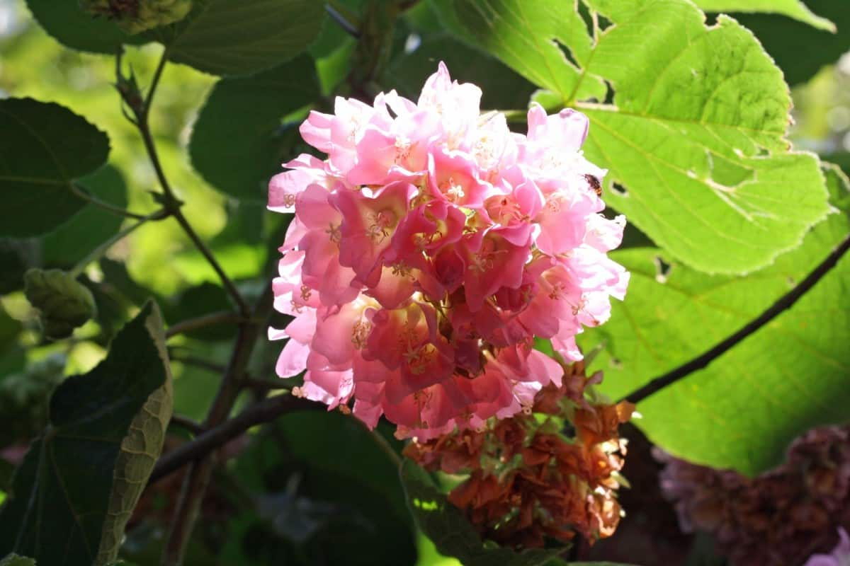 Tropical hydrangeas have pretty pink flowers.