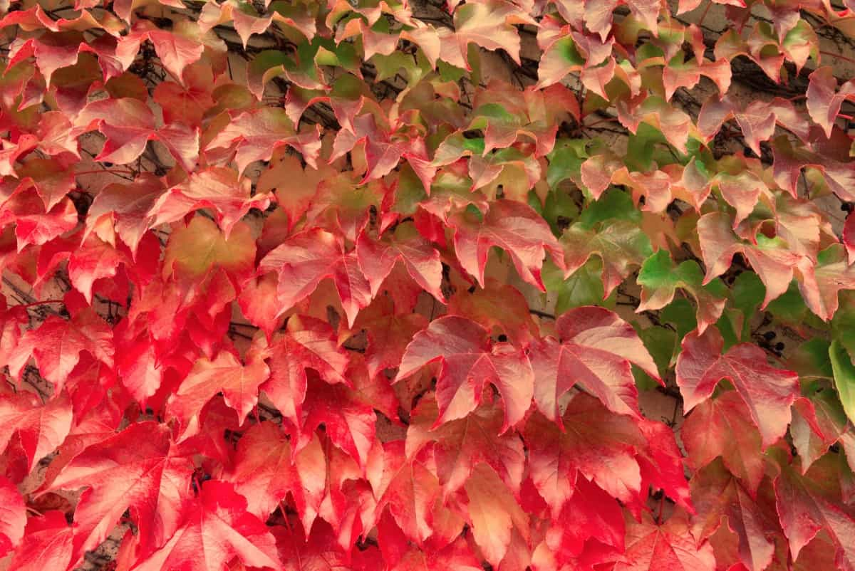 Although an attractive vine, the Virginia creeper can become highly invasive.