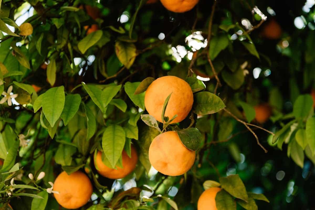 Washington navel oranges are easy to peel.
