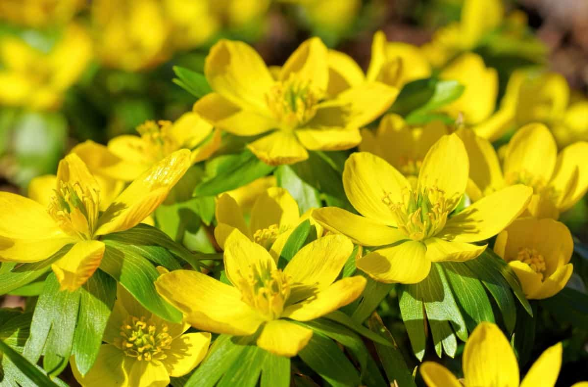 Winter aconite has cheerful yellow flowers that bloom all winter.