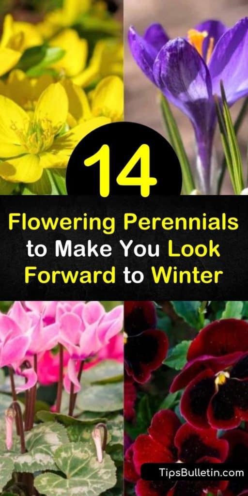 Discover perennials that brighten up a winter garden with their colorful blooms. These spectacular winter bloomers include the white flowers of snowdrops, the pink or red flowers of cyclamen, and the yellow flowers of the snow crocus. #perennials #winterblooming #wintergarden