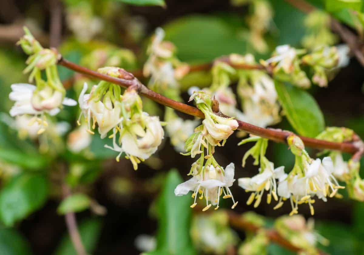 Winter honeysuckle flowers smell delightful.