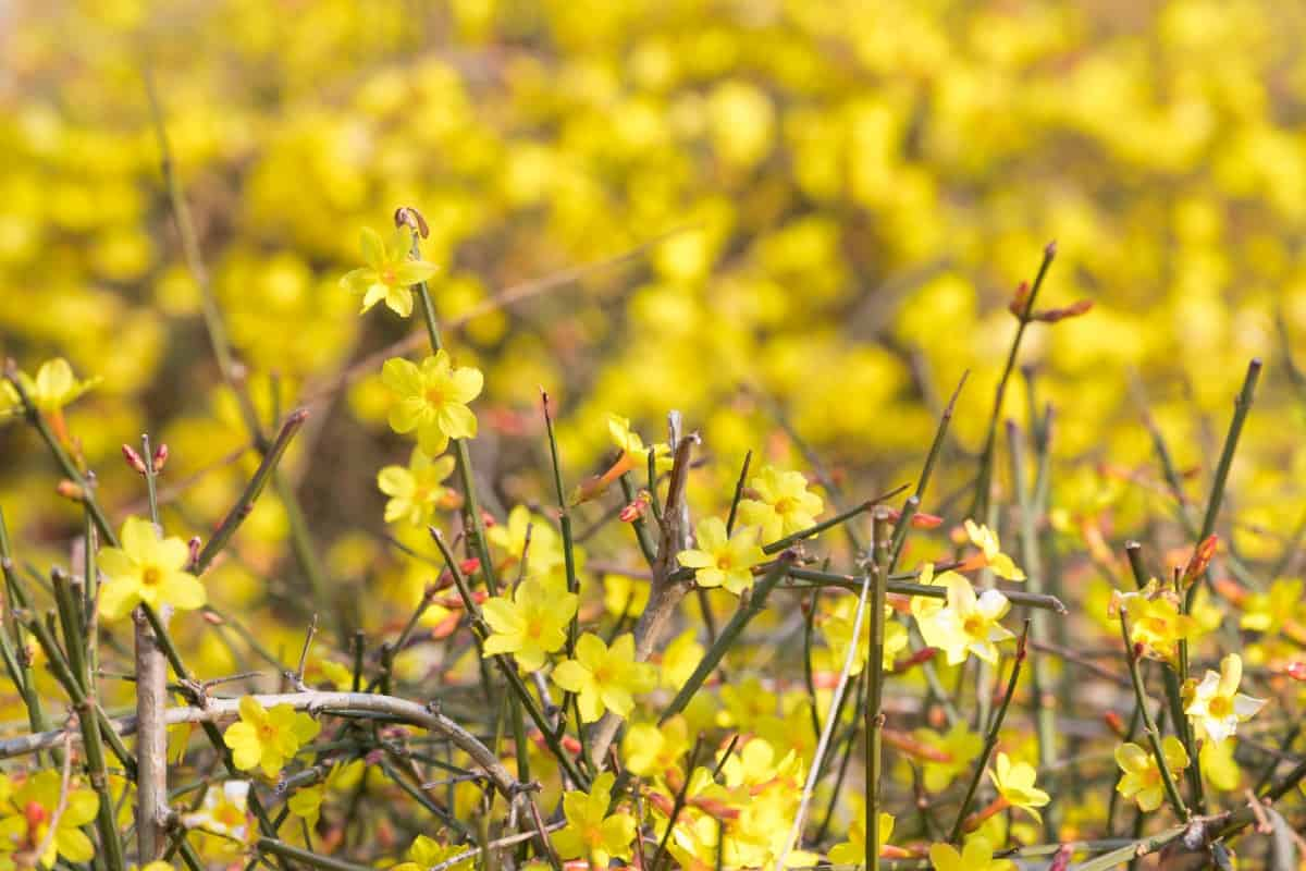 Winter jasmine is a vining shrub with yellow flowers.