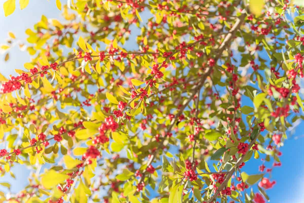 Winterberry develops a heavy crop of berries during the winter months.