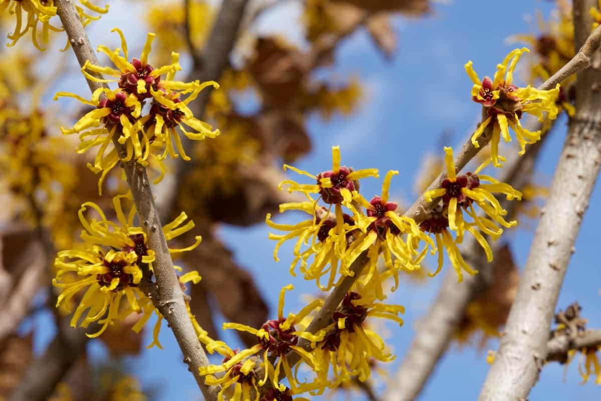 Witch hazel has unusually-shaped yellow blooms.