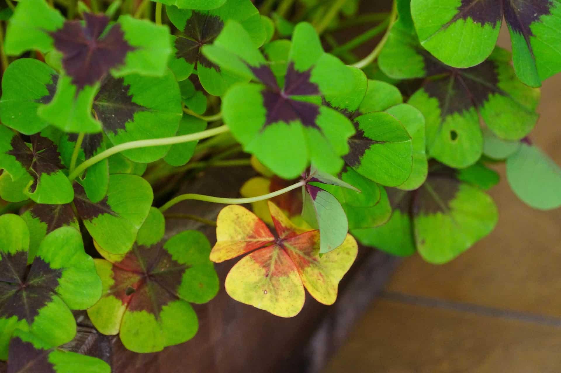 Wood sorrel leaves look like shamrocks.