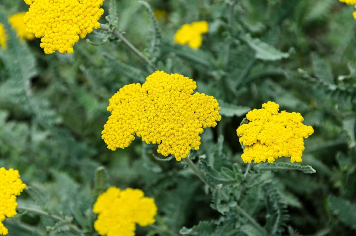 Yarrow has attractive yellow or white flowers.