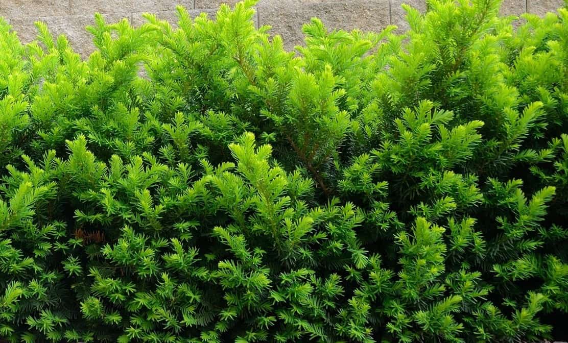Yew is a popular shrub for a hedge.