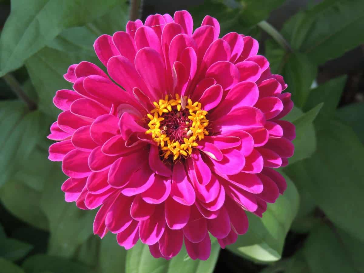 Zinnias are low-maintenance flowers that come in many bright colors.