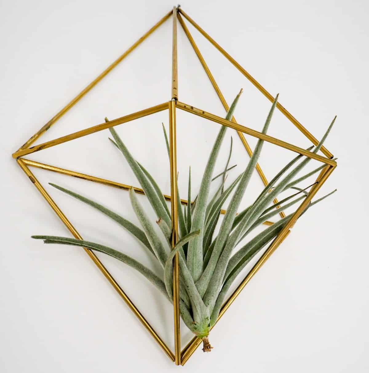 Air plants get their nutrients from the air around them.