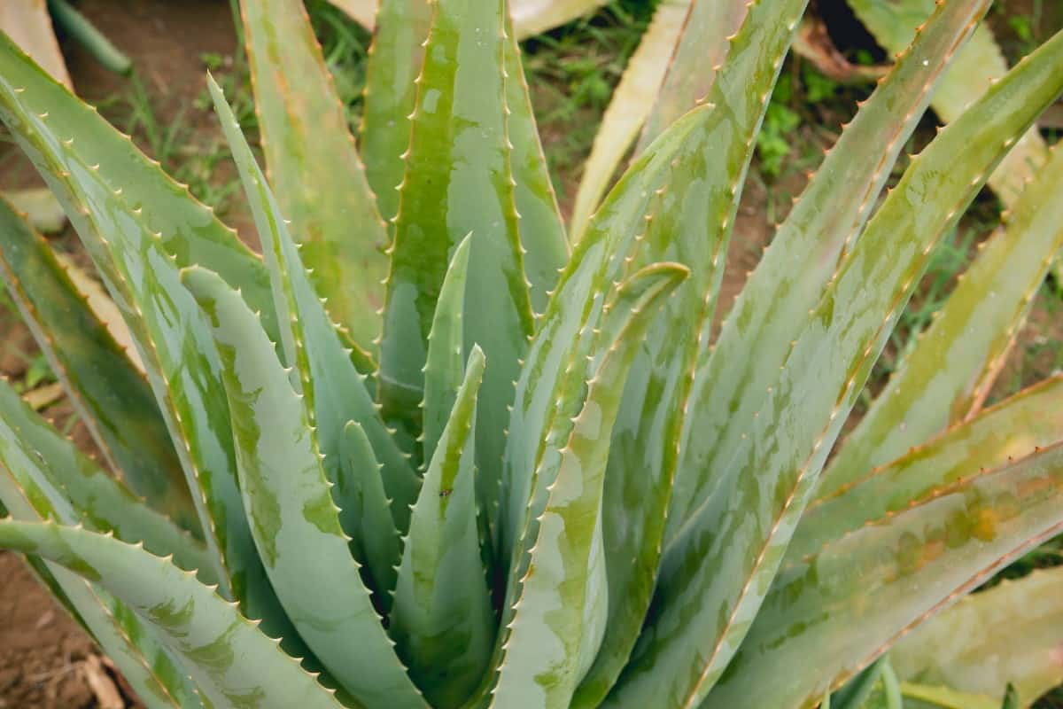 Aloe vera is great for burns.