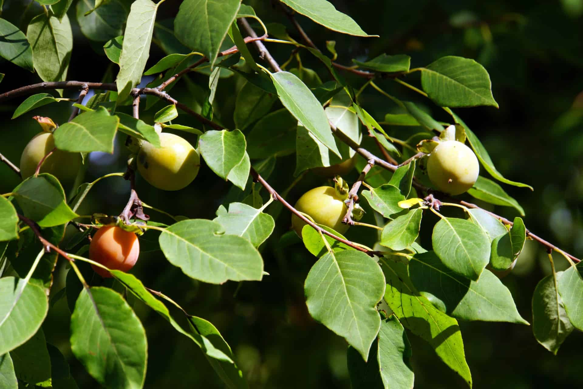 The fruit of American persimmon trees tastes like apricots.