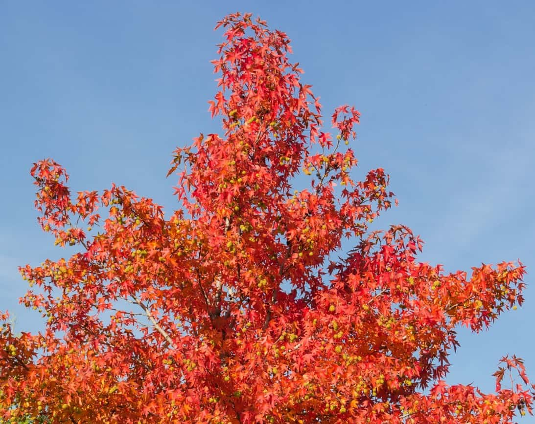 The American sweetgum tree has pretty, star-shaped leaves.