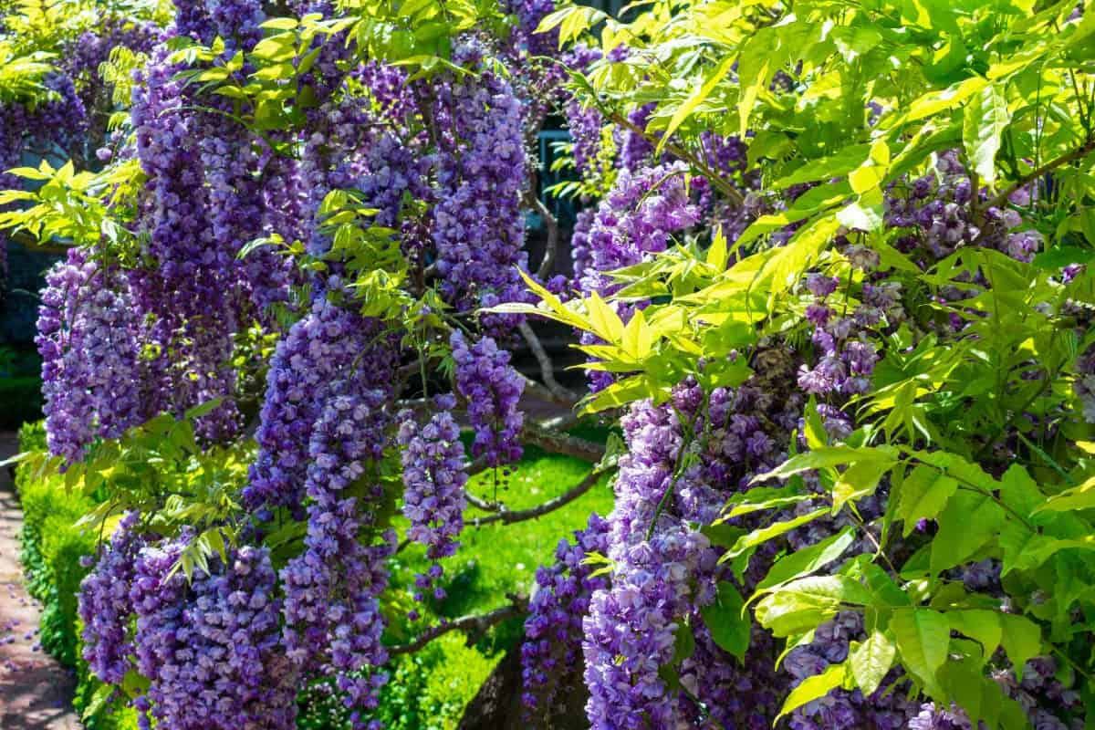 American wisteria flowers have an almost overpowering but pleasant fragrance.