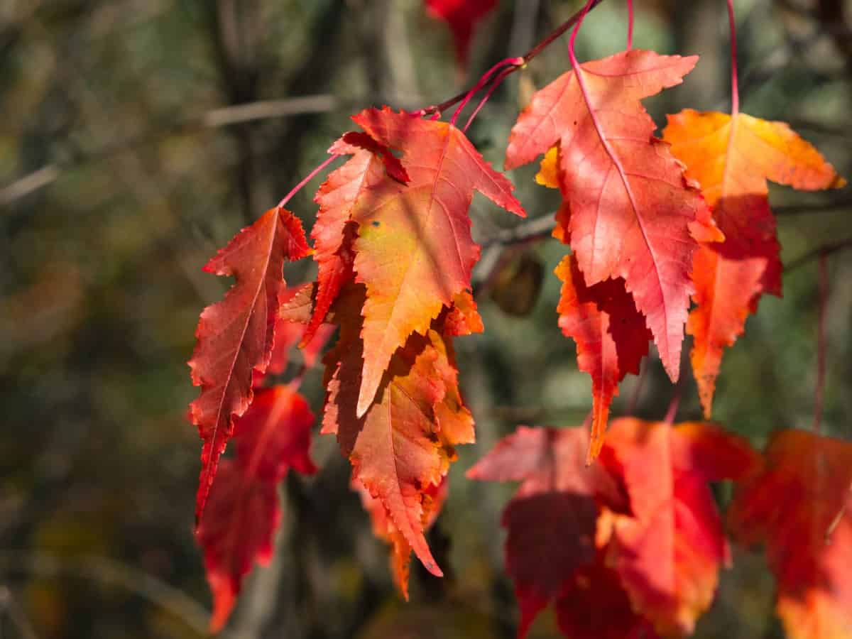 Amur maples are the perfect small trees for erosion control.