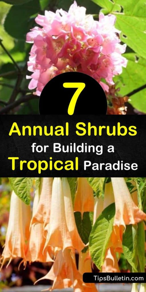 Discover tropical shrubs for use as annuals. The tropical hydrangea, beloved in Florida, bears giant pink flowers, while the canna lily stuns with yellow flowers and variegated leaves. Use gardenia, with its white flowers, as a houseplant, like other tropical plants. #annuals #shrubs #tropicalplants