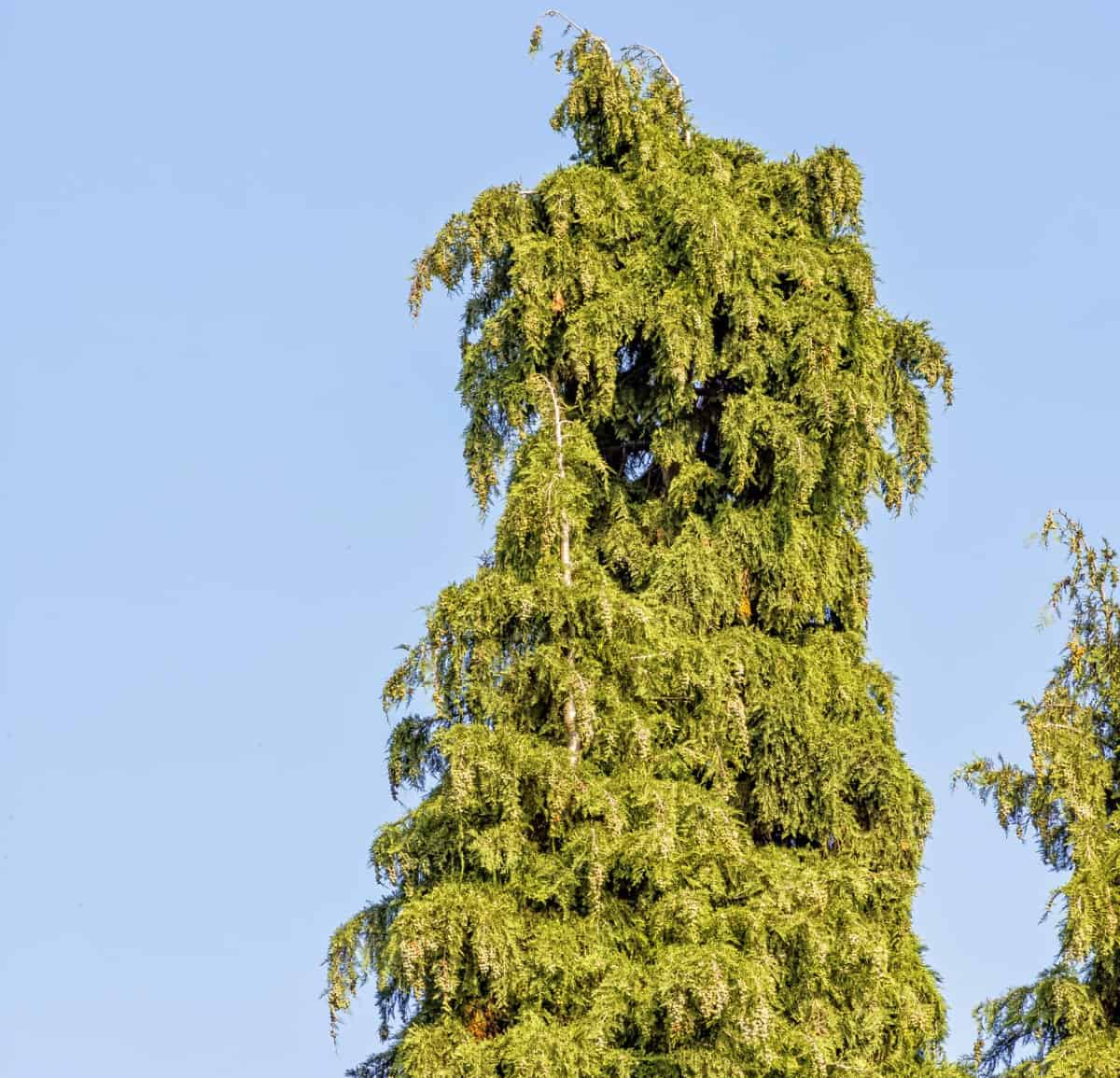The arborvitae green giant makes a fast-growing hedge.
