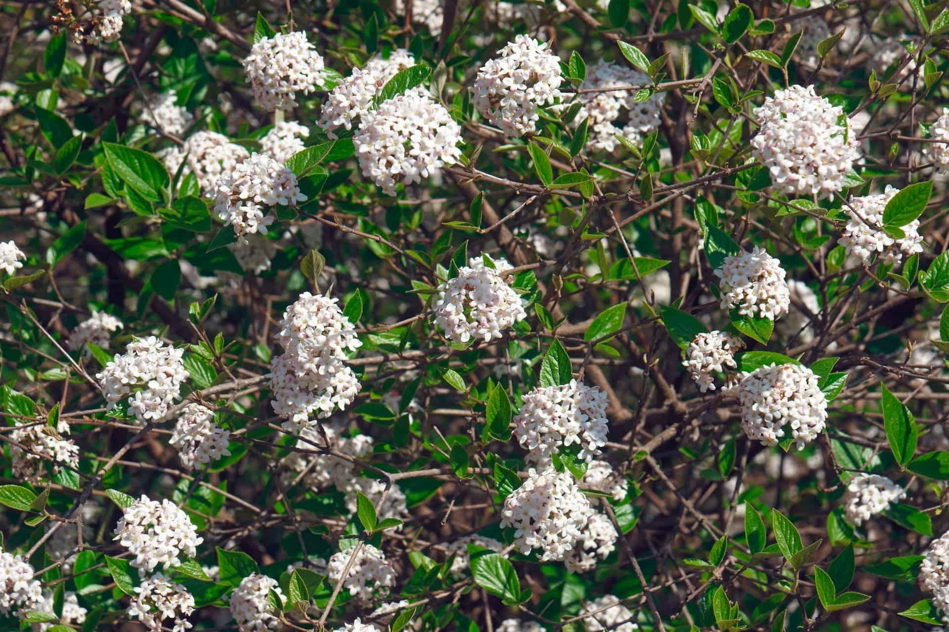 Arrowwood is a shrub that attracts wildlife.