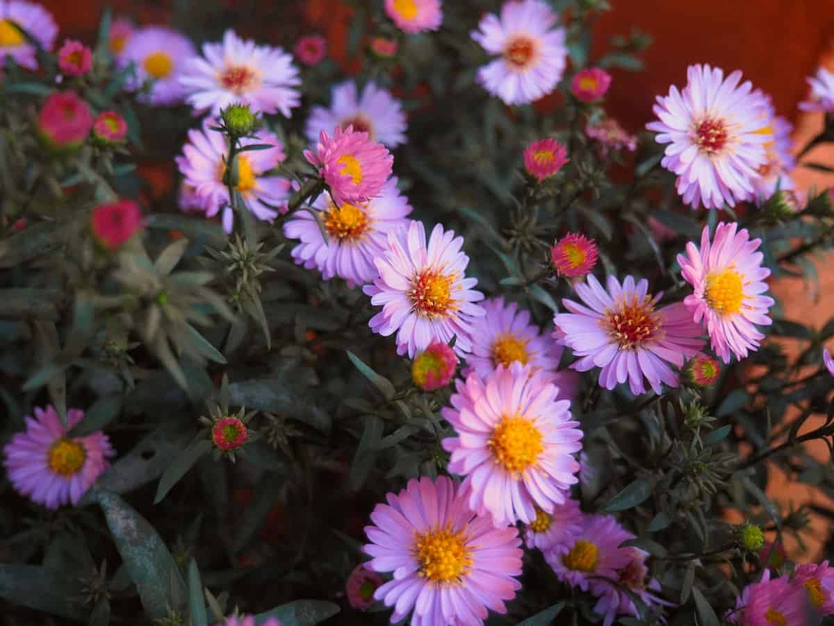Asters make the perfect everlasting flower.