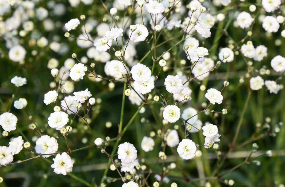 Baby's breath grows up to four feet tall.
