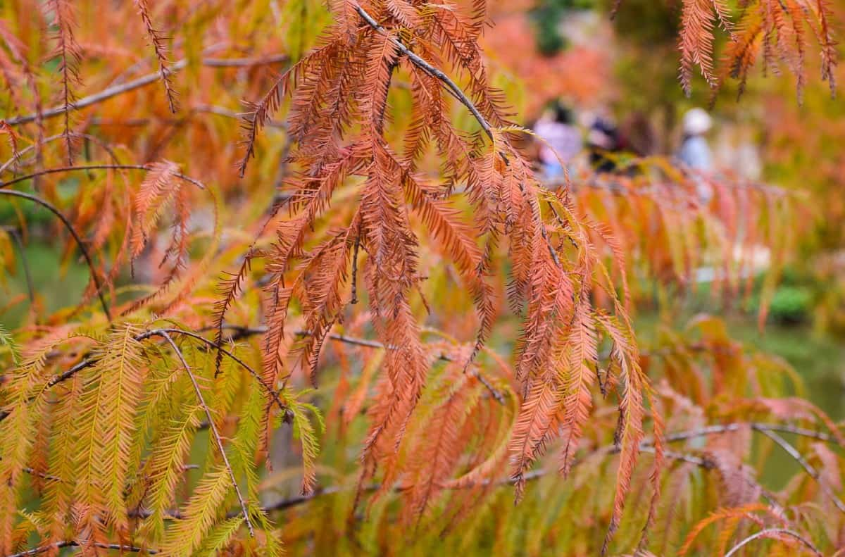 The bald cypress is a conifer with needles instead of leaves.