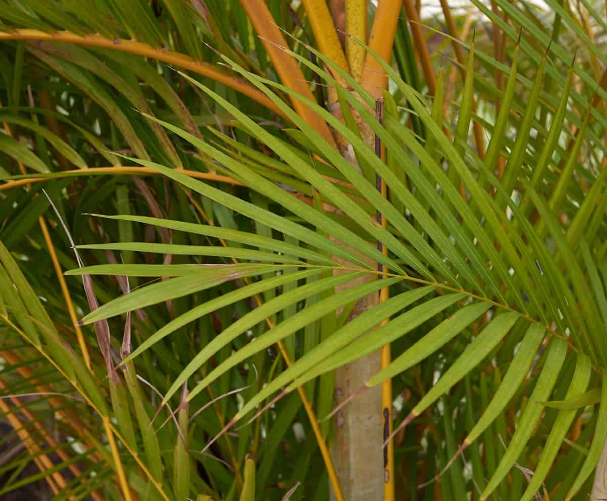 Bamboo palms are tropical plants that improve indoor air.