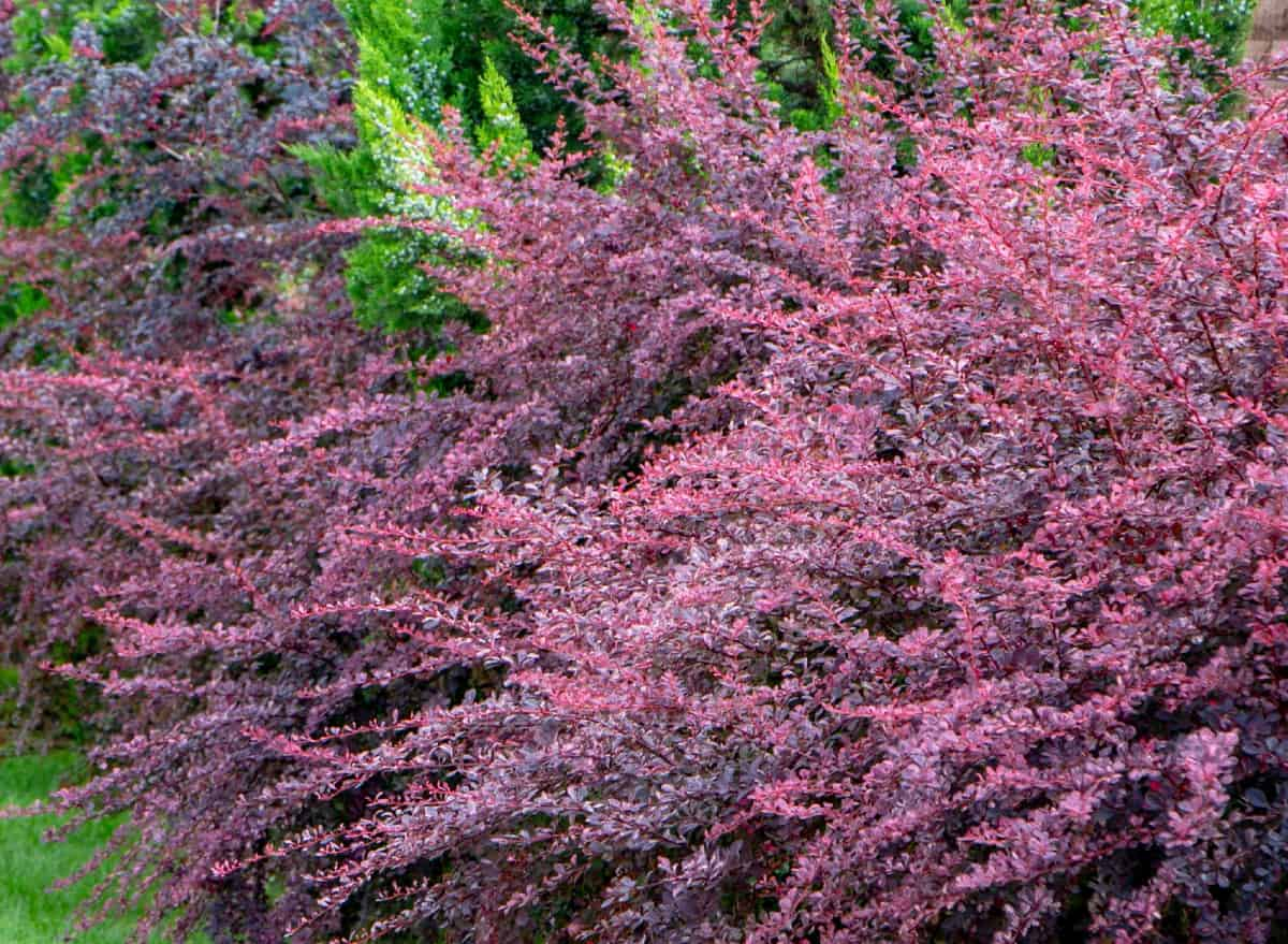 Barberry is an all-season evergreen.