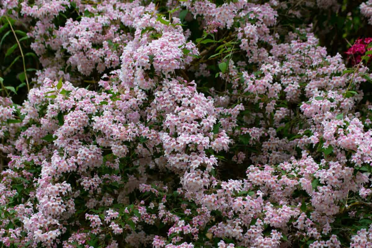 The beauty bush makes an eye-catching hedge plant.