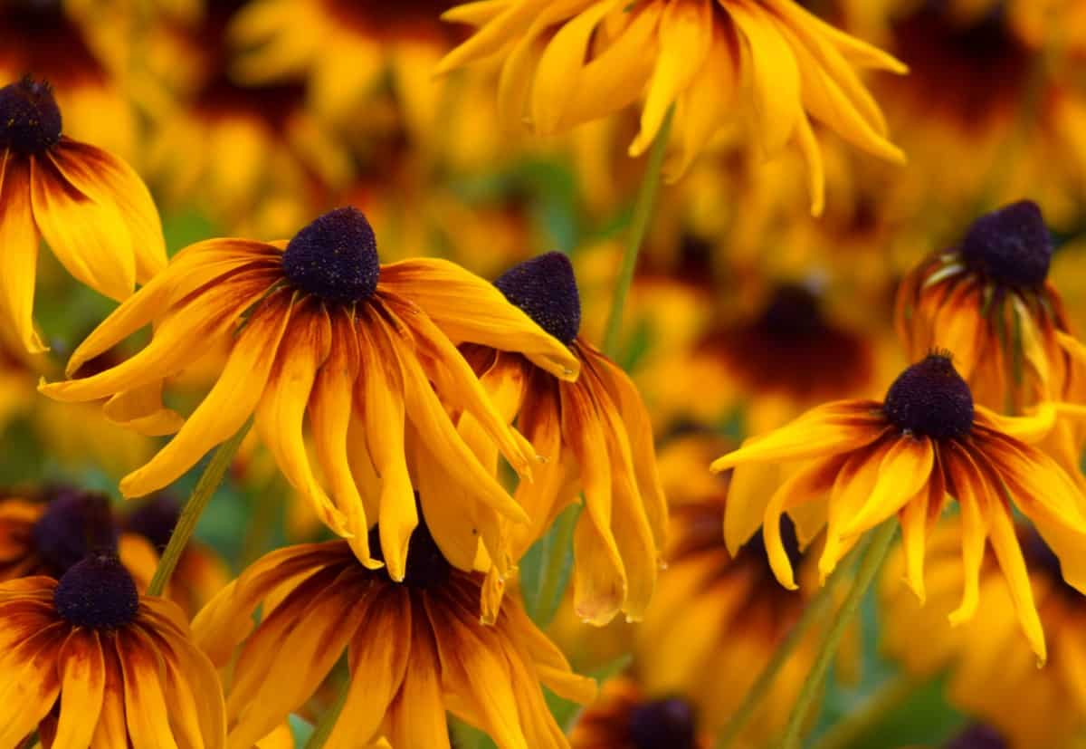 The black-eyed Susan is a popular wildflower.