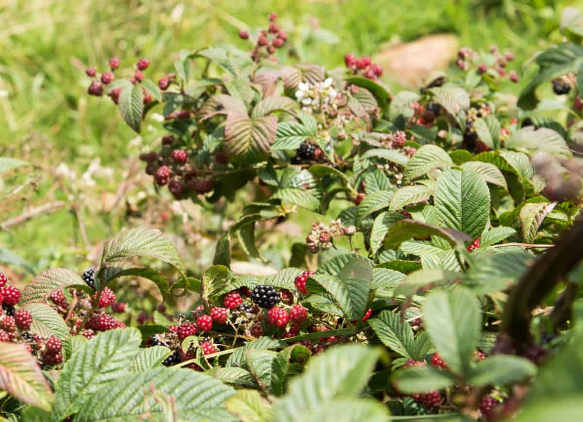 Blackberries are green, then red, and then black when ripe.