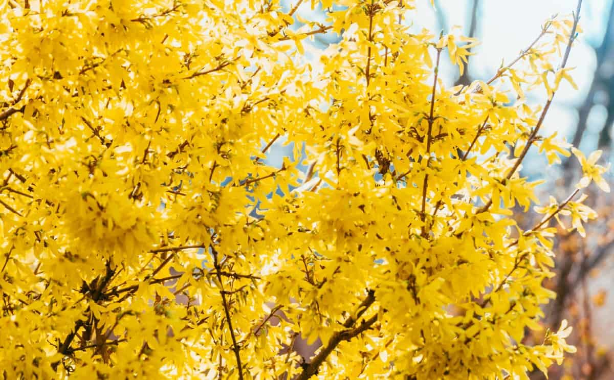 The border forsythia is a cold-hardy old-fashioned shrub.