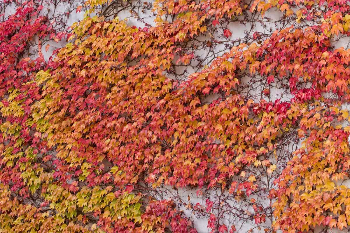 The Boston ivy vine is related to the Virginia creeper.